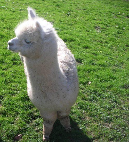 Image of alpaca