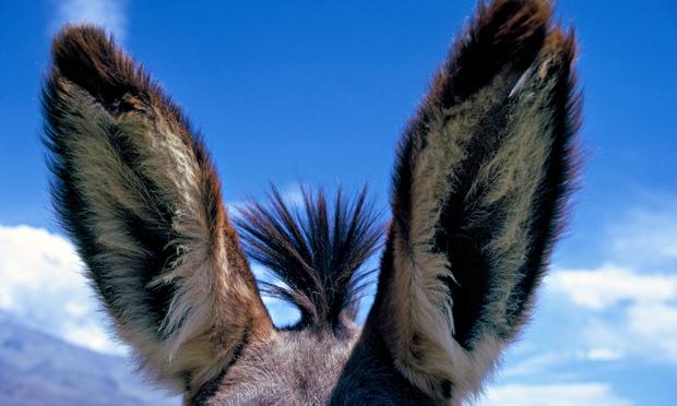 Image of Donkey ears